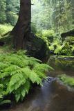 Ferns Growing on the Krinice River Bank, Kyov, Ceske Svycarsko, Czech Republic Photographic Print by  Ruiz