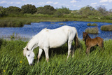 White Camargue Horse, Mare with Brown Foal, Camargue, France, April 2009 Photographic Print by  Allofs