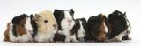 Six Young Guinea Pigs in a Row Impressão fotográfica por Mark Taylor