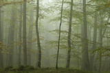 Forest with Beech Trees and Black Pines in Mist, Crna Poda Nr, Tara Canyon, Durmitor Np, Montenegro Photographic Print by  Radisics