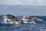 Common Dolphins (Delphinus Delphis) Porpoising, Pico, Azores, Portugal, June 2009 Fotografisk trykk av  Lundgren