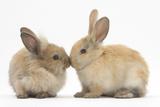 Young Sandy Rabbits Kissing Fotografisk tryk af Mark Taylor