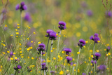 Flowering Meadow with Thistles (Cirsium Rivulare) and Buttercups (Ranunculus) Poloniny Np, Slovakia Photographic Print by  Wothe