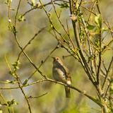Thrush Nightingale (Luscinia Luscinia) in Tree Singing, Matsalu National Park, Estonia, May 2009 Photographic Print by  Rautiainen