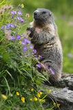 Alpine Marmot (Marmota Marmota) Standing on Hind Legs Feeding on Flowers, Hohe Tauern Np, Austria Fotografisk trykk av  Lesniewski