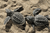 Two Newly Hatched Loggerhead Turtles (Caretta Caretta) Heading for the Sea, Dalyan Delta, Turkey Fotografie-Druck von  Zankl