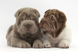 Two Shar Pei Puppies Sitting Side by Side Lámina fotográfica por Mark Taylor