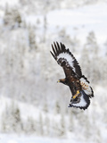 Golden Eagle (Aquila Chrysaetos) in Flight, Flatanger, Norway, November 2008 Reproduction photographique par  Widstrand