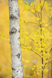 Birch Tree (Betula Verrucosa or Pubescens) Oulanka, Finland, September 2008 Reproduction photographique par  Widstrand