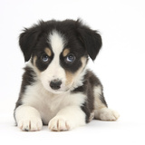 Tricolour Border Collie Puppy Lying Fotografisk tryk af Mark Taylor