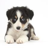 Tricolour Border Collie Puppy Lying Fotografie-Druck von Mark Taylor
