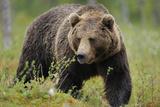 Eurasian Brown Bear Portrait (Ursus Arctos) Suomussalmi, Finland, July 2008 Photographic Print by  Widstrand
