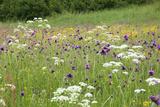 Flowering Meadow with Thistles (Cirsium Rivulare) Poloniny Np, Western Carpathians, Slovakia Fotografisk trykk av  Wothe