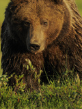 European Brown Bear (Ursus Arctos) Kuhmo, Finland, July 2009 Reproduction photographique par  Widstrand
