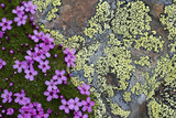 Moss Campion (Silene Acaulis) in Flower Growing on Rock, Liechtenstein, June 2009 Photographic Print by  Giesbers