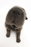 Blue Bearcoat Shar Pei Puppy Nose, 13 Weeks Lámina fotográfica por Mark Taylor
