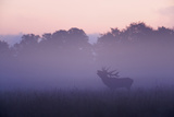 Red Deer Stag Calling During Rut, Light Mist at Sunrise, Klampenborg Dyrehaven, Denmark Photographic Print by  Möllers
