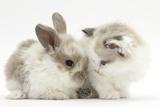 Colourpoint Kitten with Baby Rabbit Impressão fotográfica por Mark Taylor