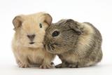 Two Baby Guinea Pigs Fotografie-Druck von Mark Taylor