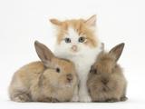 Ginger-And-White Kitten Baby Rabbits Fotografisk tryk af Mark Taylor
