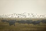 Hungarian Grey Cattle (Bos Primigenius Taurus Hungaricus) with European Starlings Overhead, Hungary Reproduction photographique par  Radisics