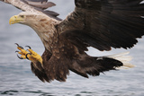 White-Tailed Sea Eagle (Haliaetus Albicilla) About to Take Fish from Water, Flatanger, Norway, June Reproduction photographique par  Widstrand