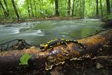 European Salamander (Salamandra Salamandra) on Tree Trunk Beside River, Male Morske Oko, Slovakia Photographic Print by  Wothe