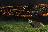 European Badger (Meles Meles) on the North Downs Above Folkestone. Kent, UK, June Fotografie-Druck von Terry Whittaker