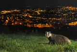 European Badger (Meles Meles) on the North Downs Above Folkestone. Kent, UK, June Photographic Print by Terry Whittaker