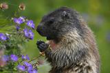 Alpine Marmot (Marmota Marmota) Feeding on Flowers, Hohe Tauern National Park, Austria, July 2008 Fotografisk tryk af  Lesniewski