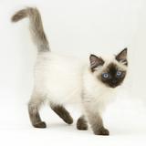 Ragdoll Kitten with Deep Blue Eyes, 12 Weeks Impressão fotográfica por Mark Taylor