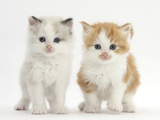 Colourpoint and Ginger-And-White Kittens Fotoprint van Mark Taylor