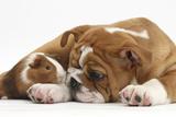 Bulldog Puppy, 11 Weeks, and Guinea Pig Fotografie-Druck von Mark Taylor
