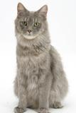 Maine Coon Female Cat, Serafin, Sitting Fotografie-Druck von Mark Taylor