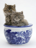 Two Maine Coon Kittens in a Blue China Pot Lámina fotográfica por Mark Taylor