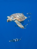 Loggerhead Turtle (Caretta Caretta) with a Shoal of Pilot Fish, Pico, Azores, Portugal, June Fotografisk tryk af  Lundgren