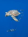 Loggerhead Turtle (Caretta Caretta) with a Shoal of Pilot Fish, Pico, Azores, Portugal, June Fotografie-Druck von  Lundgren