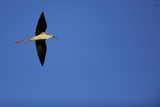 Black Winged Stilt (Himantopus Himantopus) in Flight, Karavasta Lagoons National Park, Albania Reproduction photographique par  Geidemark