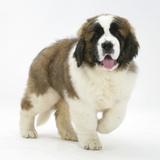Saint Bernard Puppy, Vogue Fotografie-Druck von Mark Taylor