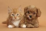 Cavapoo Puppy and Ginger Kitten Impressão fotográfica por Mark Taylor
