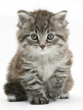Maine Coon Kitten, Goliath Photographic Print by Mark Taylor