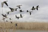 White Fronted Geese (Anser Albifrons) in Flight, Durankulak Lake, Bulgaria, February 2009 Reproduction photographique par  Presti
