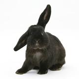 Black Rabbit with Windmill Ears Impressão fotográfica por Mark Taylor