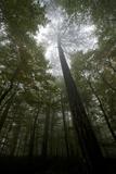 Black Pine (Pinus Nigra) Surrounded by Beech Trees, Tara Canyon, Durmitor Np, Montenegro Photographic Print by  Radisics