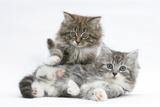 Two Maine Coon Kittens, 8 Weeks Impressão fotográfica por Mark Taylor