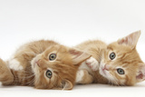 Two Ginger Kittens Lying on their Sides Impressão fotográfica por Mark Taylor