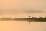 Avocet (Recurvirostra Avosetta) in Mist on Grazing Marsh at Dawn, Thames Estuary, North Kent, UK Reproduction photographique par Terry Whittaker