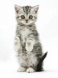 Silver Tabby Kitten Sitting with Paws Up Fotografie-Druck von Mark Taylor