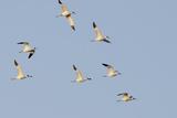 Avocet (Recurvirostra Avosetta) Flock in Flight, Elmley Marshes, Rspb, Isle of Sheppey, UK Reproduction photographique par Terry Whittaker