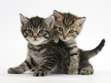 Tabby Kittens, Stanley and Fosset, 6 Weeks Fotografie-Druck von Mark Taylor